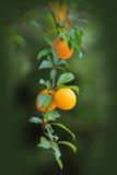 Prumos amarelos que crescem em uma árvore Imagens de Stock