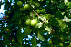 Prumos verdes Imagem de Stock Royalty Free