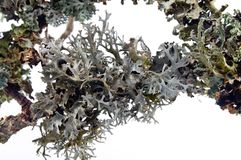 Prunastri d'Evernia - oakmoss, branches lichen-enduites des arbres Photos stock