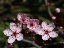 Prune blossom Royalty Free Stock Images