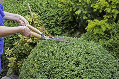 Prune the buxus. Woman prune the buxus in the garden Stock Image