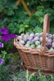 Prune dans un panier en osier dans le jardin photographie stock libre de droits