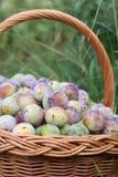 Prune dans un panier en osier dans le jardin images stock