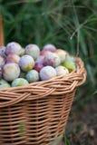 Prune dans un panier en osier dans le jardin photo libre de droits