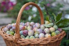 Prune dans un panier en osier dans le jardin image stock
