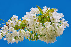 Prune de cerise de floraison Images stock