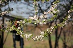 Prune de cerise de floraison au printemps photo stock