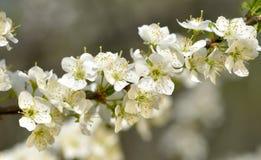 Prune de floraison Photos libres de droits