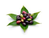 Prune de Jambolan ou prune de Java Image stock