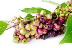 Prune de Jambolan ou prune de Java Images libres de droits