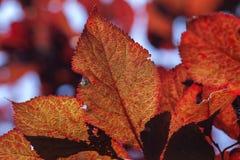 prune de Pourpre-feuille - prune de cerise Images libres de droits