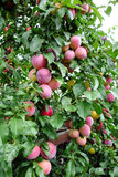 Prune de rouge d'arbre fruitier Images stock