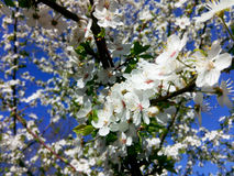 Prune fleurissante Photo stock