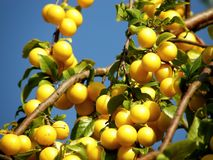 Prune jaune de mirabelle Photos libres de droits