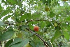 Prune jaune rougeâtre de mirabelle dans le leafage de l'arbre fruitier photo stock
