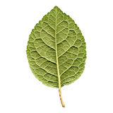 Prune leaf. Prune tree leaf - isolated over white background - back side Royalty Free Stock Photography