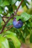 Prune mûre, fraîche et crue dans l'arbre image stock