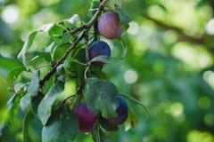 Prune mûre bleue sur une branche Photographie stock libre de droits