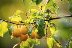 Prune mûre, prune de cerise sur un arbre dans le jardin Images libres de droits