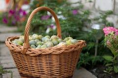 Prune mûre verte dans un panier en osier dans le jardin photographie stock