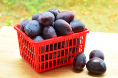 Prune plums. Fresh picked prune plums in red basket Royalty Free Stock Photography