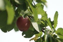 Prune propre écologique photo stock