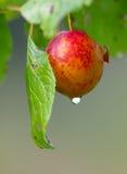 Prune rouge et goutte de l'eau Photo libre de droits