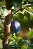 Prune (sous-espèce de domestica de Prunus domestica) Image stock