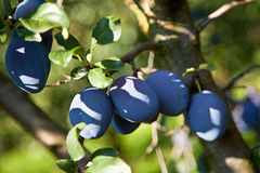 Prune (sous-espèce de domestica de Prunus domestica) Photos libres de droits