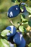 Prune (sous-espèce de domestica de Prunus domestica) Images stock