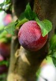 Prune sur une branche d'arbre Photos stock