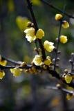 Prune très belle de la Chine Photo libre de droits