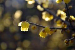 Prune très belle de la Chine Photographie stock libre de droits