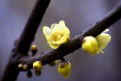 Prune très belle de la Chine Images stock