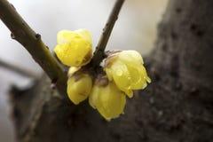 Prune très belle de la Chine Photographie stock