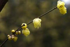 Prune très belle de la Chine Image stock