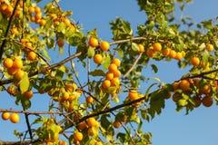 Pruneau jaune de cerise de prunes de mirabell sur des branches d'arbre, allumées par af photos libres de droits