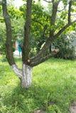 Pruned уравновесило фруктовое дерев дерево в саде стоковое изображение