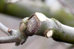 Pruned apple tree branch , shallow DOF. Pic of Pruned apple tree branch , shallow DOF Royalty Free Stock Photo