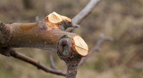 Pruned apple tree branch , shallow DOF. Pic of Pruned apple tree branch , shallow DOF Stock Image