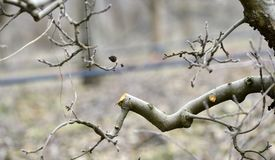 Pruned apple tree in an orchard. Image royalty free stock image