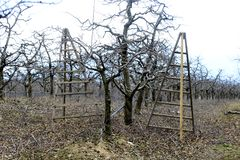 Pruned apple trees in an orchard. Image stock photos