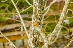 Pruned branch. Covered with lichen Royalty Free Stock Photography