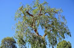 Pruned Chinese Elm Ulmus parvifolia in Laguna Woods, California. Image shows an approximate 50 foot tall pruned  Chinese Elm (Ulmus parvifolia&#x29 Stock Photo