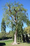 Pruned Chinese Elm Ulmus parvifolia in Laguna Woods, California. Image shows an approximate 50 foot tall, pruned  Chinese Elm  (Ulmus parvifolia&#x29 Royalty Free Stock Images