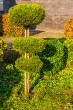 Pruned conifer tree in round circles, freshly clipped garden, backyard maintenance. A pruned conifer tree in round circles, freshly clipped garden, backyard stock photography