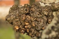 Pruned förgrena sig av en tree Arkivfoton