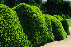 Pruned fir hedge Stock Image