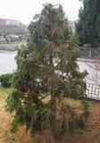 Pruned fir tree. Pruned fir evergreen coniferous tree in winter Stock Photos