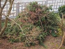 Pruned fir tree. Pruned fir evergreen coniferous tree in winter Stock Photo